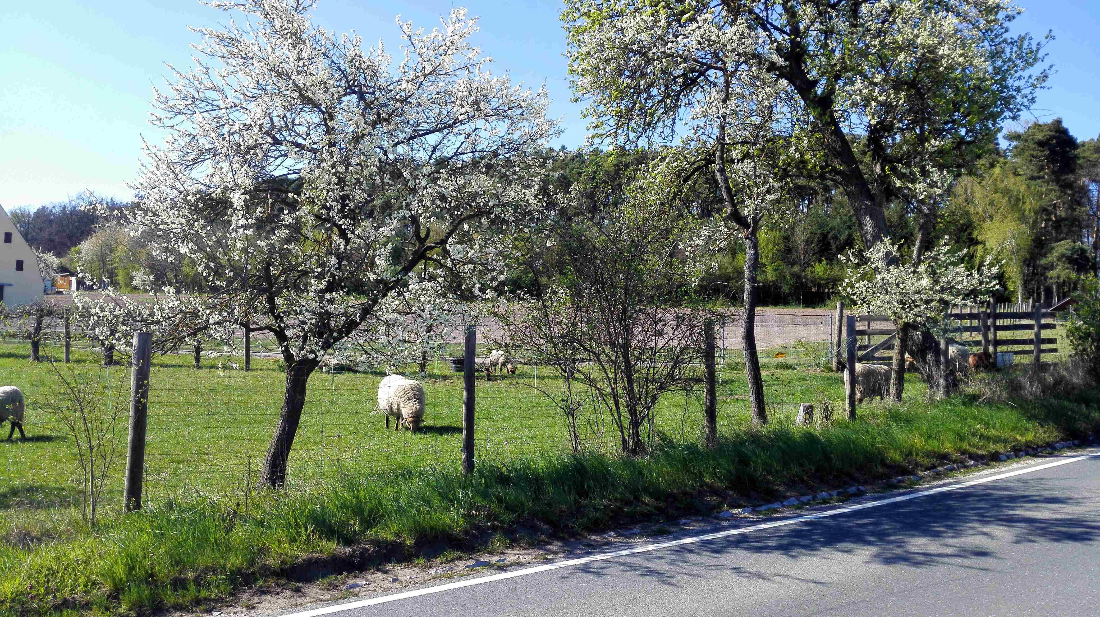 Schafe und Obstblüte am Wegesrand